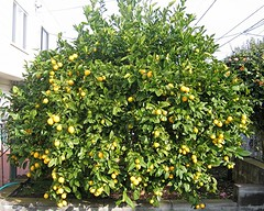 lemon2007feb