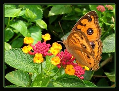 Beautiful Peacock Pansy resting on our Lantana camara. Shot July 18, 2007
