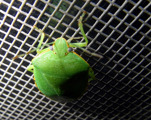 green-insect