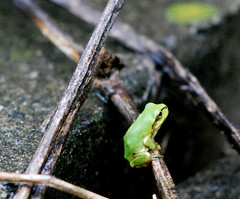 Small kid of Japanese tree frog - by autan