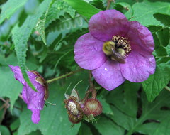 Purple-flowering Raspberry - by Anita363