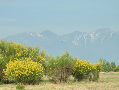 Ginster vor Pyrenenmassiv (Martin Volpert) Tags: spain catalonia gelb catalunya espagne ginster spanien pyrenen catalogna katalonien catalogne spartiumjunceum mavo43