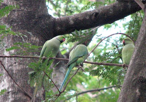 Rose-ringed Parakeets Press Club Blr 110907