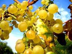 A grape in the sun (dafres) Tags: nature yellow fruit switzerland grape lavaux lutry excapture thebestyellow llovemypics