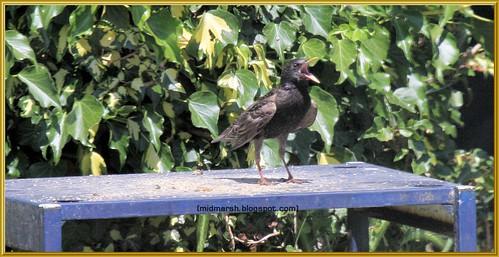 Hot Starling