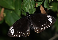 Common Mime (Papilio/Chilasa clytia) butterfly (Deanster1983) Tags: macro nature butterfly insect photo lepidoptera papilionidae papilionid chilasaclytia commonmime papilioclytia