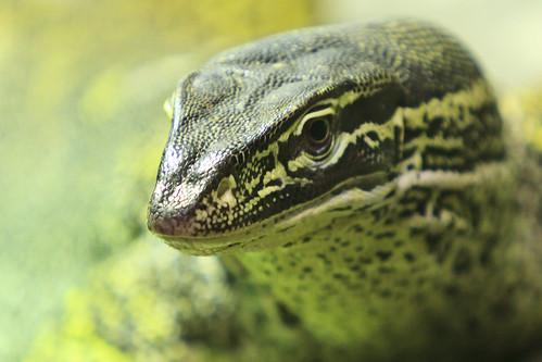 Reptilia - Monitor