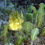 IMG_5393acrre Planehead Filefish (Stephanolepis hispidus) thumbnail