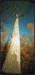 tree (mypho.de) Tags: autumn trees color tree rollei forest mediumformat landscape holga pinhole noise lochkamera uwa wideangel c41 mittelformat 6x12 f135 120° ultrawideangel holga120wpc digibasecn200pro toycamvignette