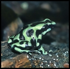 Green & Black Poison Dart Frog (Steve Wilson - need to up my game) Tags: uk greatbritain brazil england black color colour macro green toxic animal gardens america forest garden zoo nikon rainforest costarica colorful cheshire britain wildlife south great mint conservation amphibian frog chester tropical colourful d200 poison captive dart poisondartfrog captivity venomous upton venom chesterzoo zoological toxicity dendrobatidae zoologicalgarden zoologicalgardens nikond200 caughall mygearandmepremium mygearandmebronze mygearandmesilver mygearandmegold mygearandmeplatinum mygearandmediamond