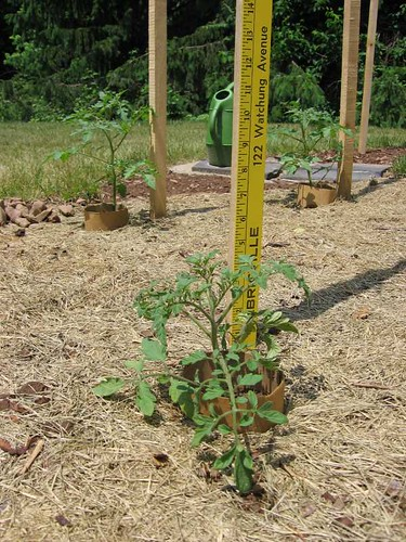 Little 'Rutgers' tomato plant