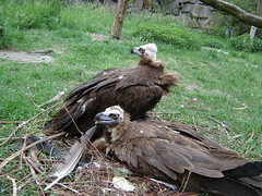 Nesting Vultures (jormungund) Tags: tierpark berlin zoo wildlife germany animals nature zoos vulture old world ave birds raptors prey cinerous black european