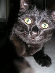 Puma attacks the Paparazzi (Pieter D) Tags: cat kat chat attack gato paparazzi puma pieterd