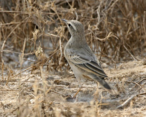 Long-billed Pipit / Persian Rock Pipit (Anthus similis decaptus)