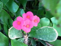 Image1307 (t2pics) Tags: flowers zamboanga n93