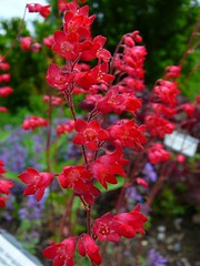 Heuchera sanguinea 'Splendons' Coral Bells (KingsbraeGarden) Tags: coralbells fullbloom heucherasanguinea splendons