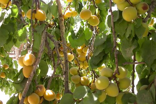 Más frutos que hojas