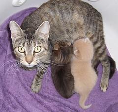 Harry & Ginny Nursing (SA_Steve) Tags: orange cats kittens km orangekitty
