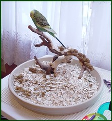 hollyshome02 (PhotoPieces) Tags: bird budgie parakeet ilovebirds