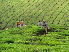 DSC02465 (taurean123) Tags: green munnar teaestate teapicking