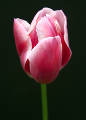 Home grown (Theresa Elvin) Tags: pink white flower macro tulip onblack