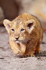 [フリー画像] 動物, 哺乳類, ネコ科, ライオン, 201010241100