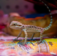 The Lizard King ( explored ) (-william) Tags: color lizard brrrrr thelizardking