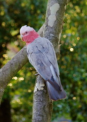 2010-11-15 5-50-43 PM - IMG_0067 Pink Galah (Degilbo on flickr) Tags: canon brisbane queensland goldenhour eolophusroseicapilla pinkgalah eos500d canonefs55250mmf456is acdseepro3