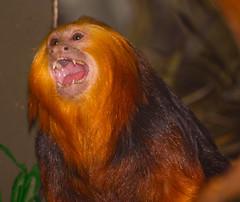 Golden-headed Lion Tamarin (nebarnix) Tags: animals monkeys primates smithsoniannationalzoo goldenheadedliontamarin