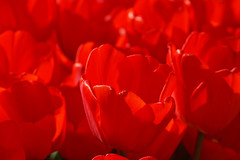 All red (Karmen Smolnikar) Tags: flowers red flower nature spring tulips lot tulip
