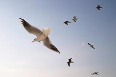 Seagulls (Teruhide Tomori) Tags: voyage travel sea sky bird japan evening fly seagull