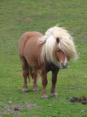"Posing ponies 1 (nz_willowherb) Tags: see scotland flickr tour visit ponies shetland unst to"" ""go visitunst seeunst gotounst visitshetland seeshetland goptoshetland"