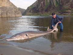 Romania - sturgeon on the Danube near the Iron Gates (londonconstant) Tags: fish nature river fishing wildlife conservation romania carpathians danube sturgeon reservation caviar irongates faves15faves