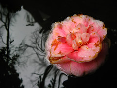 Battered and Bruised, the Floating Flower Is About To Enter the Realm of the Dark Forest (Peter Kurdulija) Tags: new zealand wellington lower hutt korokoro percy scenic reserve floating flower reflection dark water river forest pink black white fear liberty freedom security canon powershot a710 kurdulija 2000