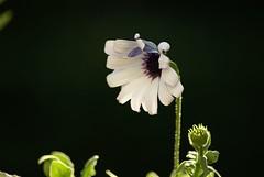 sweet flower (michielphaff) Tags: garden bbq rozendaal