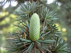 Baby cedar cone (claudio malatesta) Tags: france cone musicorso fz30 cedartree cdre pommedepin claudiomalatesta claudebenasouli