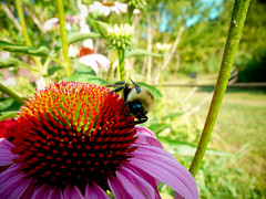My flower! (mike.palic) Tags: flower illinois bee southern bluff drapers