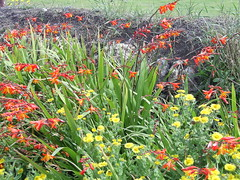 Cornish Hedgerow, Land's End (Richard and Gill) Tags: flowers cornwall landsend hedge wildflowers cornish hedgerow sennen kernow fleabane montbretia penwith