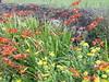 Cornish Hedgerow, Land's End (Richard and Gill) Tags: flowers cornwall landsend hedge wildflowers cornish hedgerow sennen kernow fleabane montbretia penwith