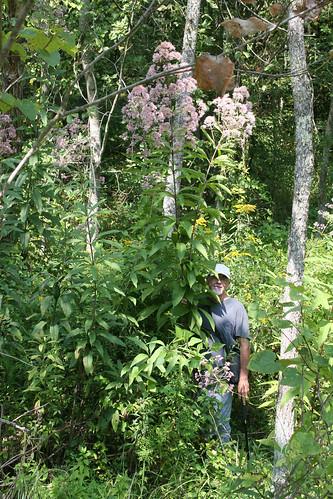 tall Joe-Pye Weed, Eupatorium fistulosum
