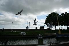 Gulls (Andrew Lament) Tags: netherlands enkhuizen