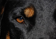 rottweiler eye by foxrosser, on Flickr