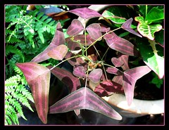 Christia vespertilionis, self-seeded and happily sharing pot space with a Croton that was propagated from stem cutting. Captured in September 24, 2007
