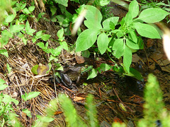 Bull Frog in the City (snoopydoobiedog~) Tags: nature wildlife frog urbanwildlife tallahassee bullfrog northflorida citywildlife