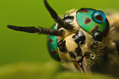 """CRYSOPS RELICTUS  #15 (GOLDENORFE) Tags: macro insect horsefly specanimal macrolife """"physis"""
