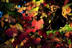 Vibrant Autumn (nondesigner59) Tags: autumn nature leaves october colours seasons vibrant eos50d unlimitedphotos nondesigner nd59 mothernaturesgreenearth