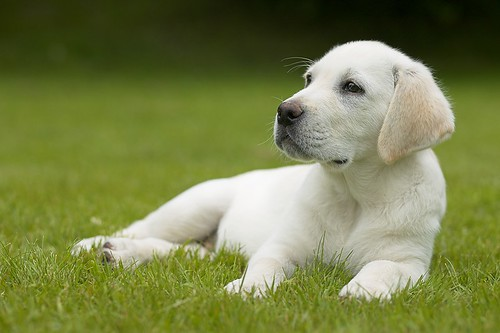 Labrador Retriever Dogs Puppies