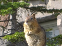 Chipmunk? Ground Squirrel?