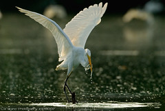 gobble, gobble , gobble it up!~~  <)))><  ~~ great egret from bali (bocavermelha-l.b.) Tags: morning fishing greategret southchinasea ih ardeaalba 500mmf4dii egrettaalba casmerodiusalbus wildlifephotography  tc17eii inbali ardeaalbaegretta garabrancagrande inindonesia z5oo likeaballerina feitobailarina wildlifesoutheastasia foundintamanburunglagoon atnusadua natureisart    oneofthebestpicturesonflickr wildlifebali