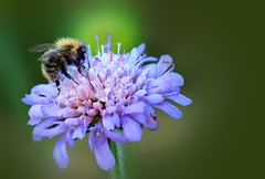 busy bee (*ds*) Tags: flower nature insects bee pollen mywinners impressedbeauty fiveflickrfavs dsphotographydesign